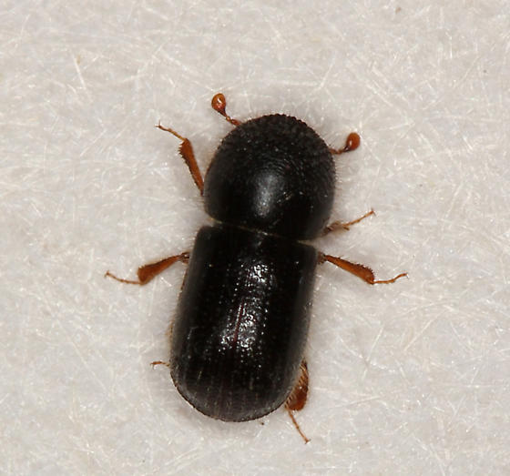 tiny black beetle - Anisandrus dispar