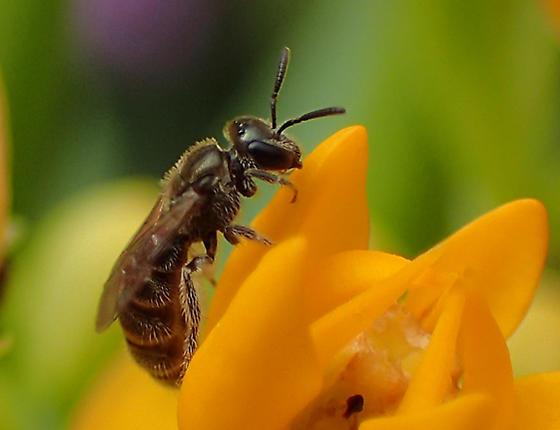 small bee (blossom is Trop Mlkwd) - Lasioglossum
