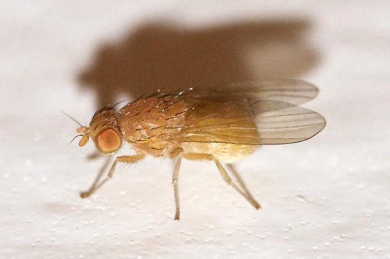 Lauxaniidae  - Poecilominettia