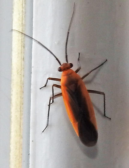 INSECT - Lopidea