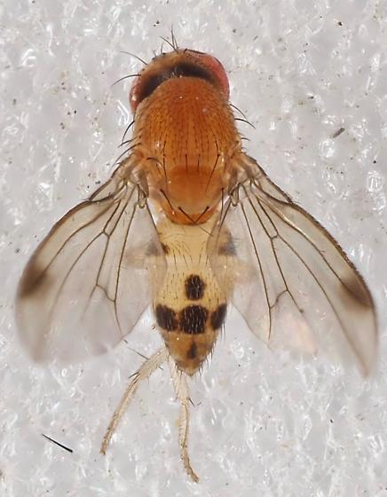 Unknown Fly - Leucophenga varia