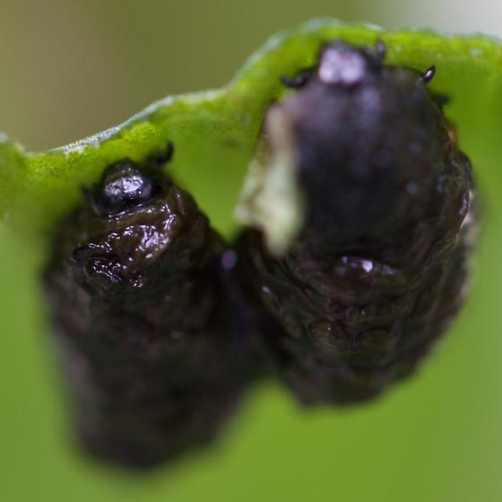larva - Lilioceris lilii