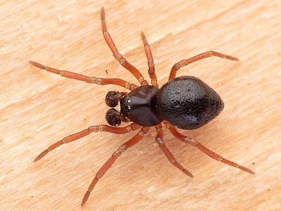 Linyphiid - Ceratinella - male