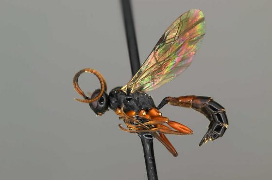 Diadromus sp.  - Diadromus - female