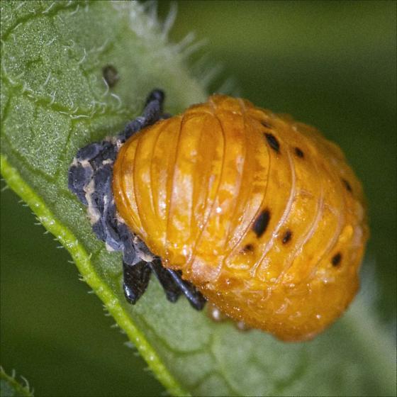Ladybug Beetle pupa-ID Please - Hippodamia convergens