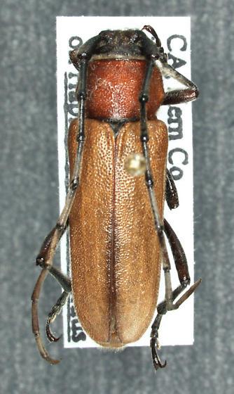 Crossidius coralinus ruficollis Linsley, 1943 - Crossidius coralinus - male