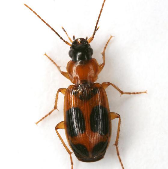 Badister neopulchellus Lindroth - Badister neopulchellus