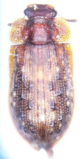 Unknown - Peltastica tuberculata