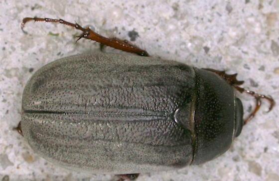Pruinose May Beetle - Phyllophaga