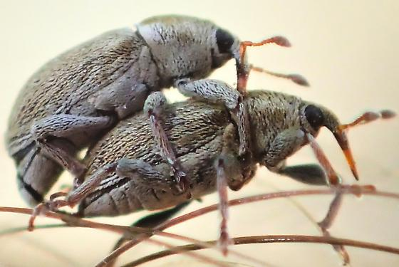 Two Tiny Weevils - Tychius - male - female