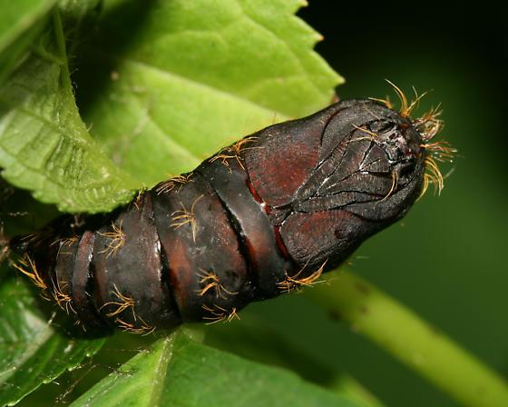 Gypsy moth pupa - Lymantria dispar