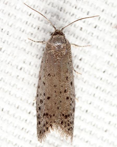 Mimosa Webworm Moth - Homadaula anisocentra