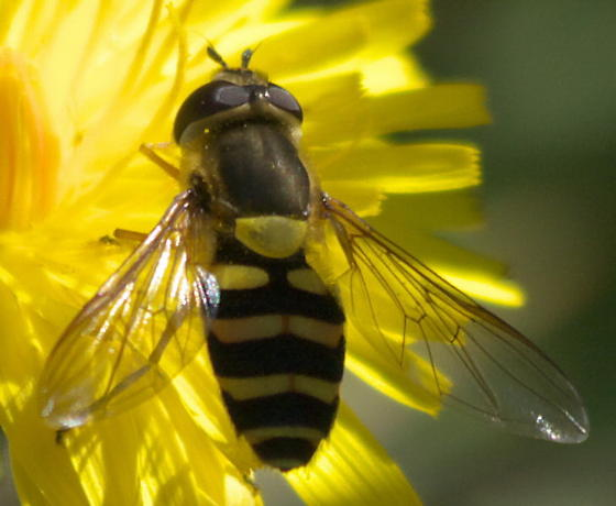 Syrphid fly with yellow strips