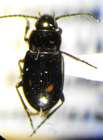 Trachypachus holmbergi - Trachypachus inermis