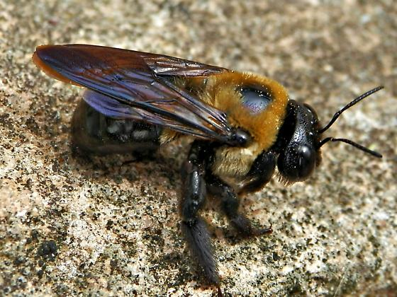 Carpenter bee rubbing abdomen on rocks - Xylocopa virginica