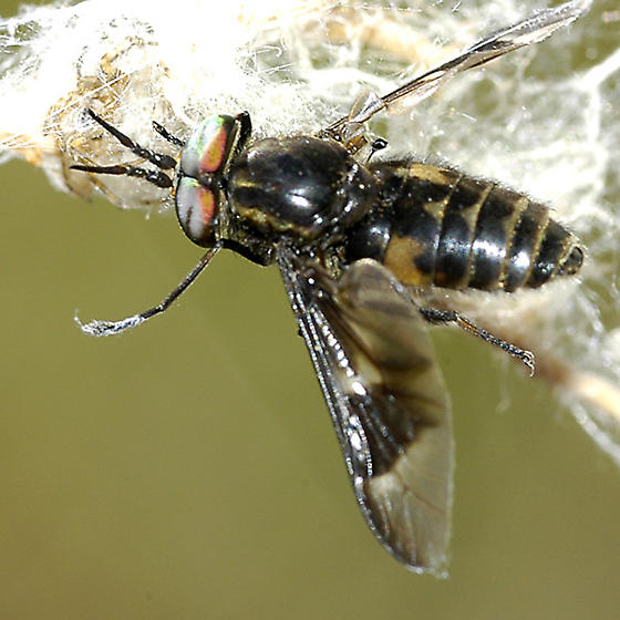 Tabinid caught in web - Chrysops - male