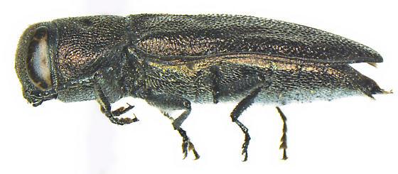 Anthaxia expansa LeConte - Anthaxia expansa - female