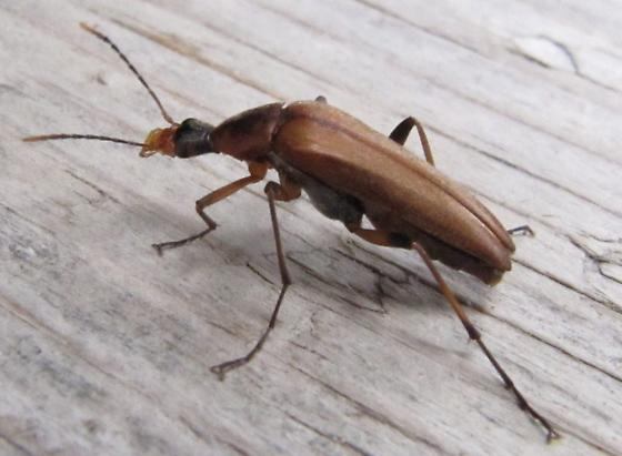 Unknown BC beetle - Cephaloon