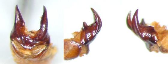 Phyllophaga implicata - Phyllophaga implicita - male