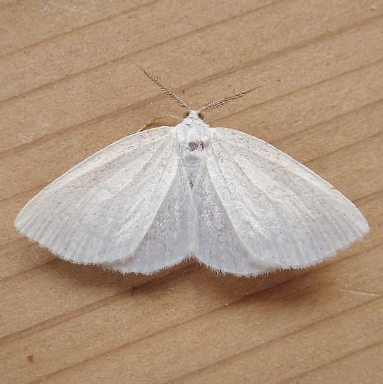 Geometridae: Cabera variolaria  - Cabera variolaria - male