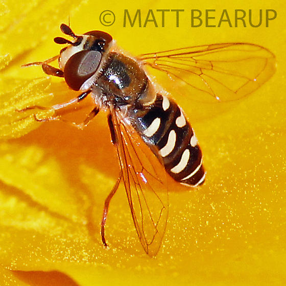 Fly - Eupeodes volucris