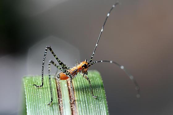 cricket, katydid? - Scudderia mexicana