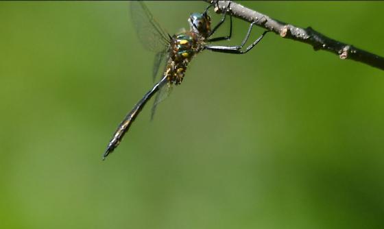 Ocellated Emerald - Ontario - Somatochlora minor