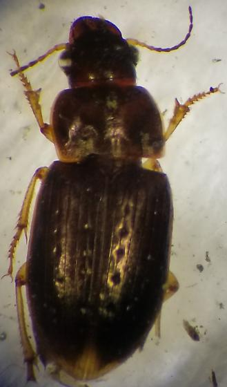 Selenophorus palliatus? - Selenophorus palliatus