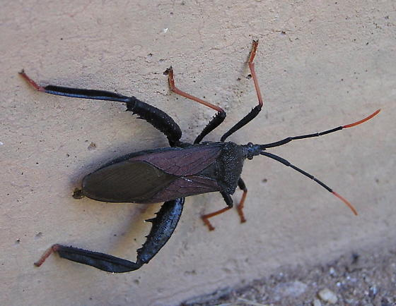 Large Arizona bug - Acanthocephala thomasi