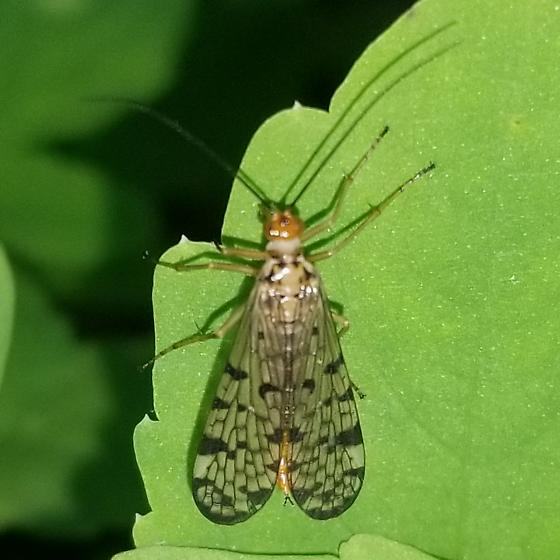 Marsh fly sp. - Panorpa