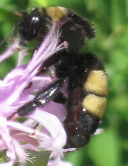Bee - Bombus auricomus