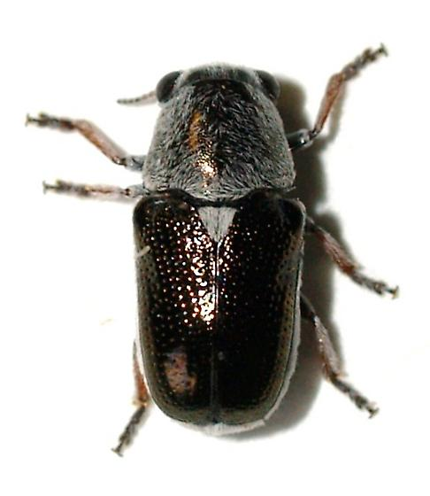 Chrysomelidae - Coscinoptera aeneipennis