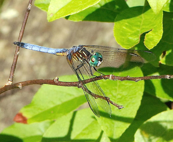 Blue Dasher Dragonfly - Pachydiplax longipennis - male