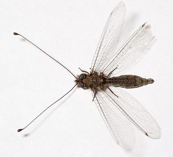 Owlfly - Ululodes floridanus - female
