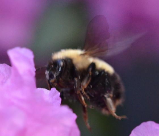 Bombus perplexus? in suburban garden on rhododendron - Bombus perplexus - female