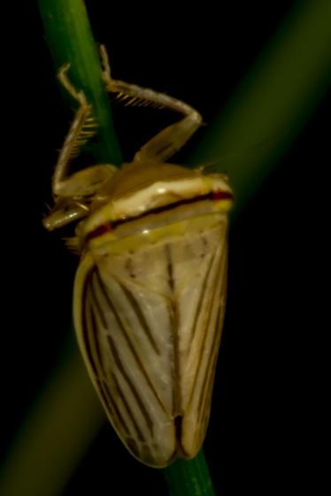 small flier - Athysanus argentarius