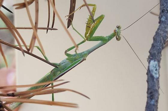 Mantis from Jeff Davis county - Stagmomantis limbata - male