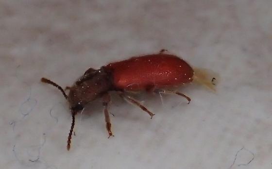 Zenodosus sanguineus? - Zenodosus sanguineus