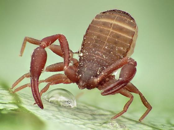 Pseudoscorpion - Chelifer cancroides