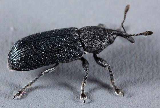 Utah Weevil - Mecinus janthinus
