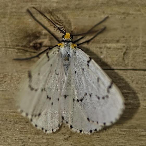 Moth - Cingilia catenaria - male