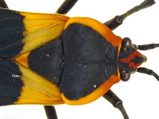 Female, Oncopeltus fasciatus - Oncopeltus fasciatus - female