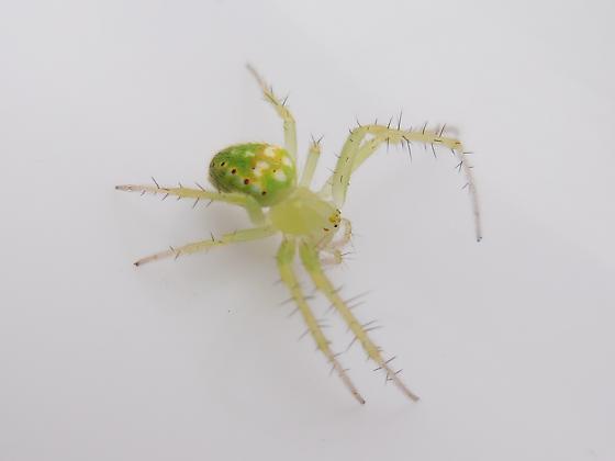 Green Araneus - Araneus cingulatus - female