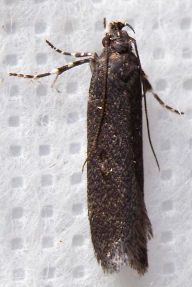 Chionoides sp.?
