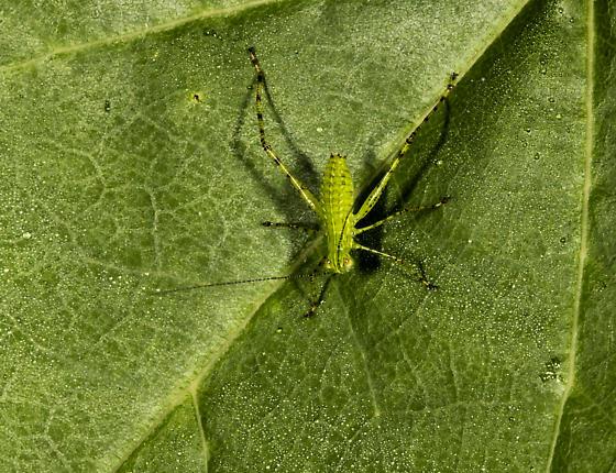 Katydid nymph on Redbud leaf