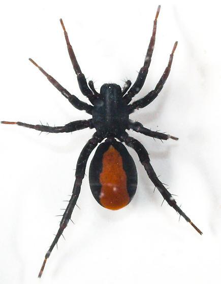Spider - Castianeira