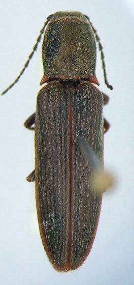 Sylvanelater cylindriformis - male