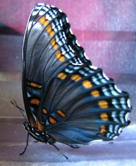 Red-spotted Purple Butterfly (Life Cycle Series