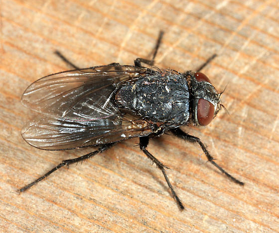 fly - Muscina pascuorum - female