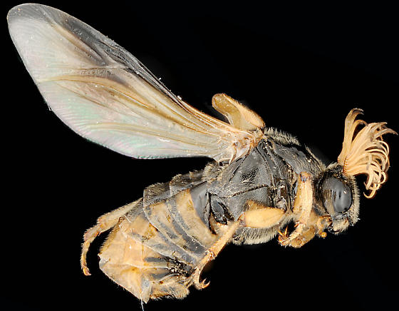 ''Wasp'' with bipectinate antennae and two flight wings, lateral - Ripiphorus rex - male